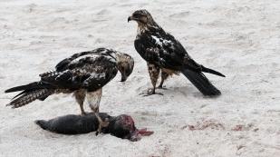 ...Die Falken fressen an dem toten Seelöwenbaby