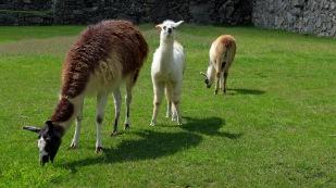 Die Lamas fühlen sich auch wohl