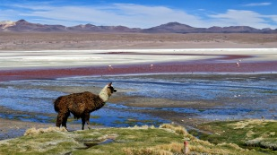 ...desinteressierten Lamas...