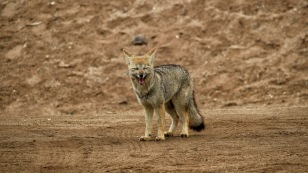 Patagonischer Fuchs so gar nicht scheu