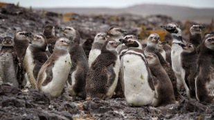 Magellanpinguine...