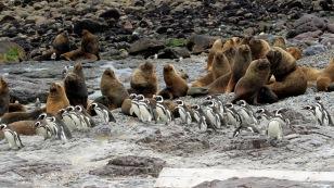 Seelöwen und Pinguine einträchtig nebeneinander