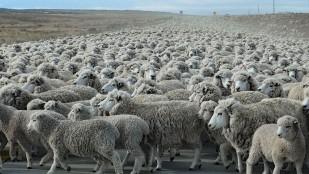 Weit und breit nur Schafe