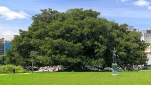 Ein stattliches Exemplar des Ficus macrophylla...